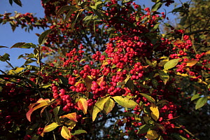 Spindle berries {Euonymous europaeus} on bush in autumn, Mendip hills, Somerset, UK  -  John Waters