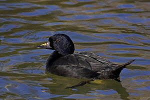 Common / Black Scoter (Melanitta nigra nigra) male, captive, from Iceland, Northern Europe, Northern Asia  -  Rod Williams
