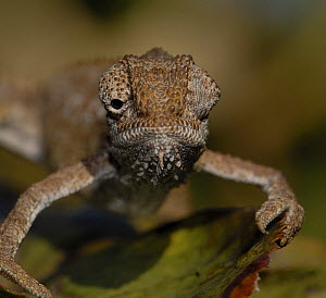 Roberston�s Dwarf Chameleon {Bradypodion gutturale} eyes looking in different directions, Western Cape, South Africa  -  Tony Phelps