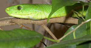 Eastern green mamba {Dendroaspis angusticeps} Captive from KwaZuluNatal, South Africa  -  Tony Phelps