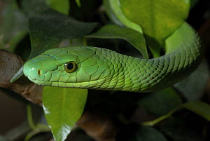 Green mamba {Dendroaspis angusticeps} from KwaZuluNatal, South Africa.  -  Tony Phelps