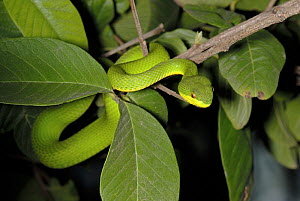White-Lipped palm viper {Trimeresurus /  Cryptelytrops albolabris} in tree, captive, from SE Asia - Tony Phelps