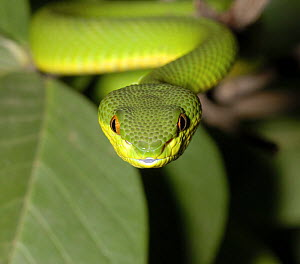 White-Lipped palm viper {Trimeresurus /  Cryptelytrops albolabris} captive, from SE Asia - Tony Phelps