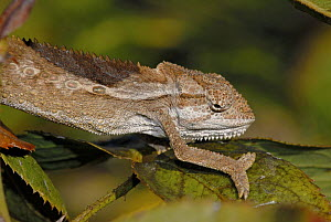 Roberston�s Dwarf Chameleon {Bradypodion gutturale} moving along branch, Western Cape, South Africa  -  Tony Phelps