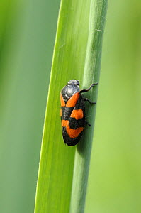 Black and red froghopper {Cercopis vulnerata} at rest on phragmites reed, Norfolk broads, UK, June  -  Gary K. Smith