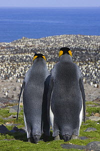 King Penguin (Aptenodytes patagonicus) male and female rear view looking out over colony, Saint Andrews Bay, South Georgia  -  Suzi Eszterhas