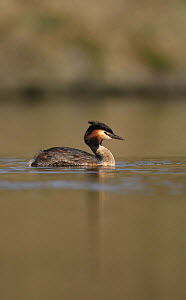 Great-crested Grebe (Podiceps cristatus) on water, Derbyshire, UK - Paul Hobson