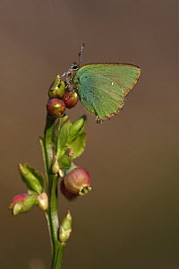 Green hairstreak butterfly (Callophrys rubi) perched on Bilberry, Derbyshire, UK  -  Paul Hobson