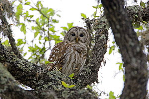 Barred Owl (Strix varia) perched in tree, Texas, USA - David Kjaer