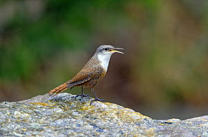 Canyon Wren (Catherpes mexicanus) perched on rock singing, Texas, USA  -  David Kjaer