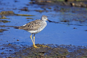 Lesser Yellowlegs (Tringa flavipes) on shore in spring plumage, Texas, USA  -  David Kjaer