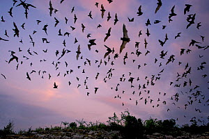 Mexican Free-tailed Bat (Tadarida brasiliensis mexicana) emerging at dusk from Frio Cave, near Concan in the Texas Hill Country, Texas, USA.  -  David Kjaer