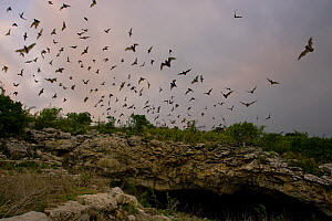 Mexican Free-tailed Bat (Tadarida brasiliensis mexicana) emerging at dusk from Frio Cave, near Concan in the Texas Hill Country, Texas, USA.  This cave is the second largest bat cave for this species... - David Kjaer
