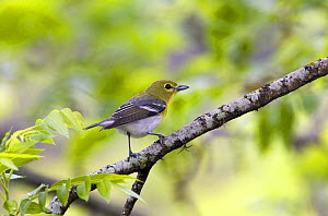 Yellow-throated Vireo (Vireo flavifrons) perched in tree, Texas, USA  -  David Kjaer