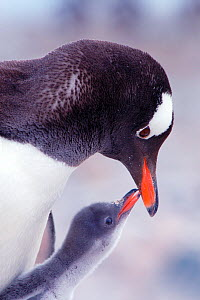 RF- Gentoo Penguin (Pygoscelis papua) chick begging parent for food, Antarctica. (This image may be licensed either as rights managed or royalty free.) - Edwin  Giesbers