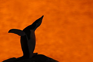 Silhouette of Chinstrap Penguin {Pygoscelis antarctica} calling at sunset, Antarctica  -  Edwin Giesbers