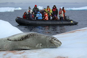 Tourists in inflatable boat watching Leopard seal {Hydrurga leptonyx} hauled out on ice, Antarctica 2008  -  Edwin Giesbers