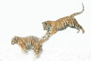 Two Siberian tigers {Panthera tigris altaica} leaping in snow, captive  -  Edwin Giesbers