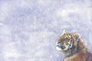 Siberian tiger {Panthera tigris altaica} looking up in snow, captive  -  Edwin Giesbers