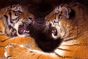 Siberian tiger {Panthera tigris altaica} two cubs play fighting, captive - Edwin Giesbers