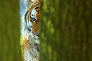 Siberian tiger {Panthera tigris altaica} partially viewed through tree trunks, captive - Edwin Giesbers