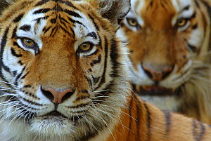 Two Siberian tigers {Panthera tigris altaica} portraits, captive - Edwin Giesbers
