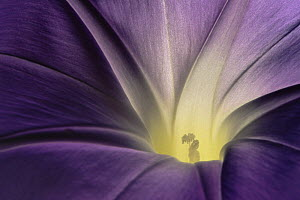 Morning glory {Ipomoea sp} inside flower close-up, USA - Shattil & Rozinski