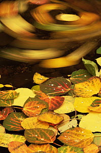 Swirling leaves of Aspen tree {Populus tremula} floating on water surface in autumn, USA  -  Shattil & Rozinski
