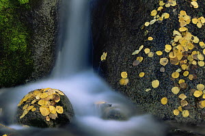 Fallen Aspen leaves {Populus tremula} on rocks in river in autumn, USA - Shattil & Rozinski