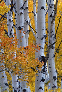 Aspen tree {Populus tremula} leaves and trunks in autumn, USA - Shattil & Rozinski