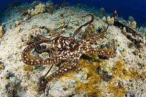 Day / common reef octopus (Octopus cyanea), on coral reef, Hawaii.  -  David Fleetham