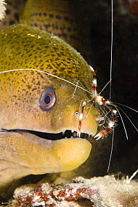 Banded boxer / coral shrimp (Stenopus hispidus) on the nose of a giant moray eel (Gymnothorax javanicus), checking for parasites. Yap, Micronesia.  -  David Fleetham