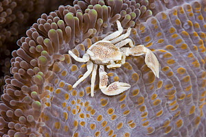 Porcelain crab (Neopetrolisthes maculatus), on anemone. The Island of Yap, Caroline Islands, Micronesia. - David Fleetham