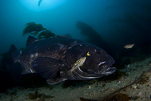 Giant / black sea bass (Stereolepis gigas) off Catalina Island, California, East Pacific Ocean.  -  David Fleetham