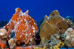 Giant / Commerson's Frogfish (Antennarius commerson) pair on coral reef, Hawaii.  -  David Fleetham