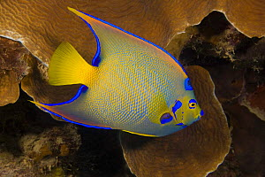 Queen angelfish (Holacanthus ciliaris) on coral reef, Bonaire, Caribbean.  -  David Fleetham