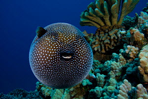 Guineafowl pufferfish (Arothron meleagris) puffed up in defence, Hawaii. - David Fleetham