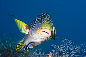 Lined sweetlips (Plectorhinchus lineatus) with two cleaner wrasse (Labroides dimidiatus), Indonesia.  -  David Fleetham