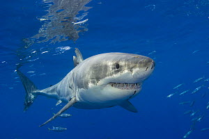 Great white shark (Carcharodon carcharias) off Guadalupe Island, Mexico.  -  David Fleetham