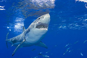 Great white shark (Carcharodon carcharias) with mouth open, just below the surface off Guadalupe Island, Mexico. - David Fleetham