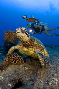 Green turtle (Chelonia mydas) on the wreck of the YO257 off Waikiki, with a diver in the background. Oahu, Hawaii. August 2007. Model released  -  David Fleetham
