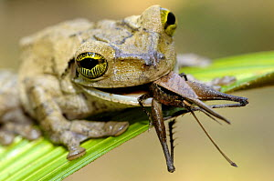 Tree frog {Hyla sp} feeding on grasshopper, Tambopata National Reserve, Amazonia, Peru - Fabio Liverani