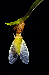 Cicada recently emerged from larval case, inflating its wings, sequence 4/5, Tambopata National Reserve, Amazonia, Peru - Fabio Liverani