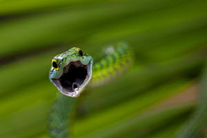 Parrot snake {Leptophis ahaetulla} with mouth wide open, Tambopata National Reserve, Amazonia, Peru  -  Fabio Liverani