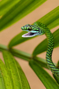 Parrot snake {Leptophis ahaetulla} with mouth open, Tambopata National Reserve, Amazonia, Peru  -  Fabio Liverani