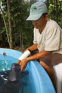 Amazonian manatee {Trichechus inunguis} calf being fed by hand, Endangered, Captive, Instituto Nacional de Pesquisas da Amazonas, Manaus, Brazil - Mark Carwardine