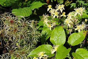 Old man's beard / Travellers joy {Clematis vitalba} growing in hedgerow showing seed-head plumes and flowers, Norfolk, UK, September - Gary K. Smith