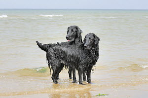 Two black flat coated retrievers playing in the sea, UK  -  Gary K. Smith