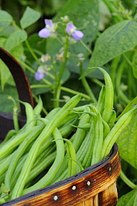 Dwarf beans, 'Pongo' harvested crop in rustic trug with plant and flowers in background, Norfolk, UK, September  -  Gary K. Smith