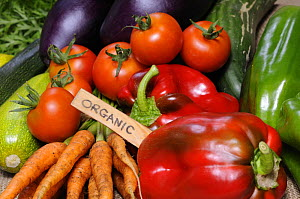 Freshly harvested home grown organic vegetables with 'organic' label, carrots, peppers, courgettes, cucumbers, aubergine, tomatoes, UK  -  Gary K. Smith